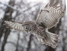 Another image of Phantom of the North. Great Gray Owls of the Tetons and Yellowstone. by MATTHEIS, Steve. [photography] & GURA, Katherine [text].