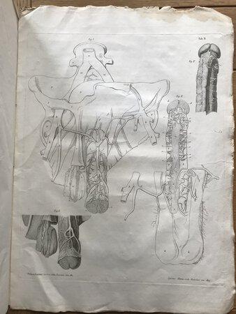 Commentarium de Urethrae Corporis Glandisque Structura by MORESCHII, Alexandri. [MORESCHI, Alessandro]