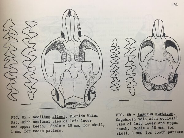 A Key to the Skulls of North American Mammals by GLASS, Bryan P.