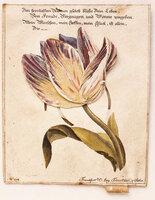 [Tulip]. by (MOVEABLE 'BIEDERMEIER' CARD).