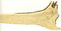 Birch: Long-grain. by SCHANILEC, Gaylord, b.1955.