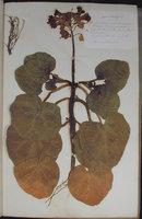 LARGE FORMAT NINETEENTH CENTURY FRENCH HERBARIUM. by (Herbarium) (ARNOULD, L.M.)