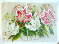 LILIES OF JAPAN. by (Trade catalogue - Lilies) YOKOHAMA NURSERY CO., LTD.