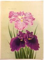 IRIS KAEMPFERI. by (Trade catalogue - Iris) YOKOHAMA NURSERY CO., LTD. (YOKOHAMA UEKI  KABUSHIKI  KAISHA, corp. title).