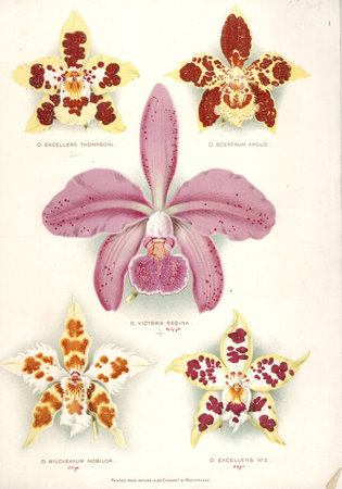 A Catalogue of Surplus and Duplicate well grown Established Orchids by  THOMPSON, William.