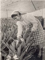 Photographs of Pineapple Growing in the Azores by  A. ARRUDA